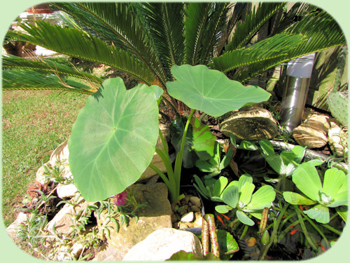 Colocasia fallax in de vijver