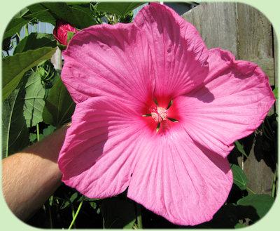 Grote bloemen van de Hibiscus