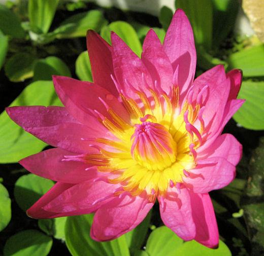 Wat een prachtige bloemen maakt de Nymphaea capensis!