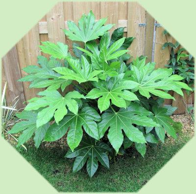 Ook de Fatsia japonica groeit goed