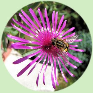 Een Deleosperma cooperi bloem met zweefvlieg