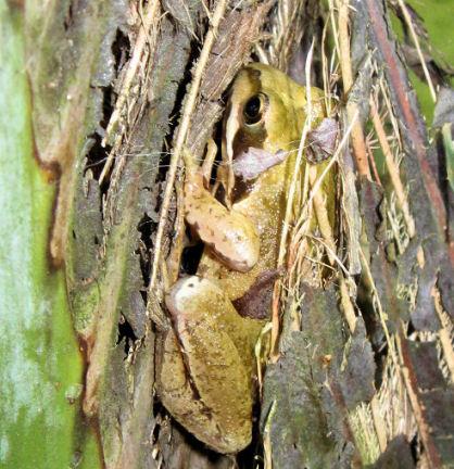 Deze kikker zoekt een schuilplaats in de Butia capitata