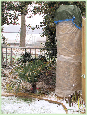 De ingepakte Musa basjoo in de sneeuw
