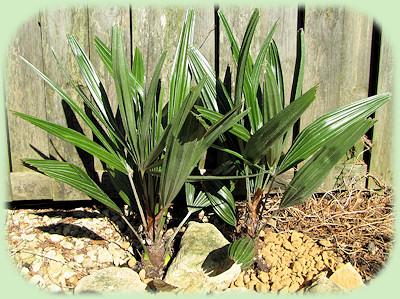 Rhapidophyllum hysterix