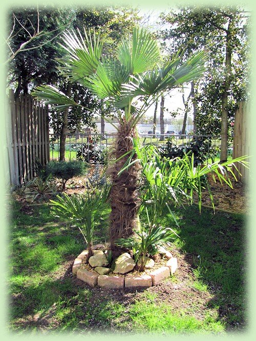 Trachycarpus april 2012