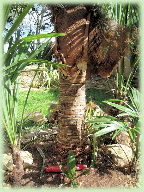 Ontharen van een Trachycarpus fortunei var. wagnerianus
