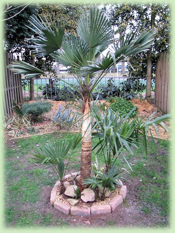 Onthaarde Trachycarpus