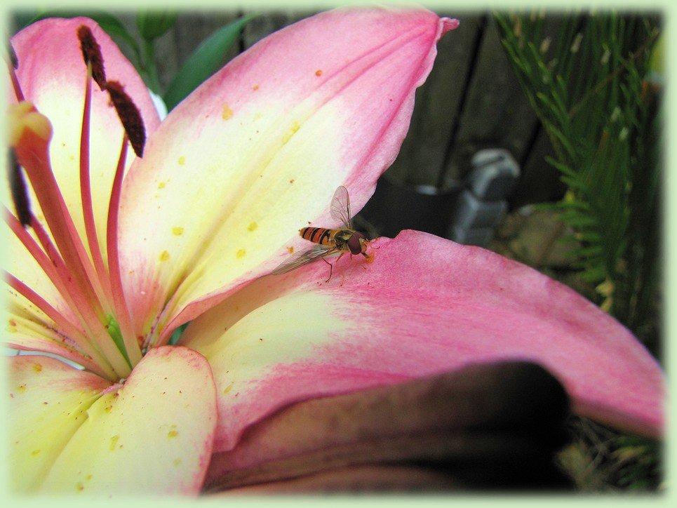 Lilium met zweefvlieg