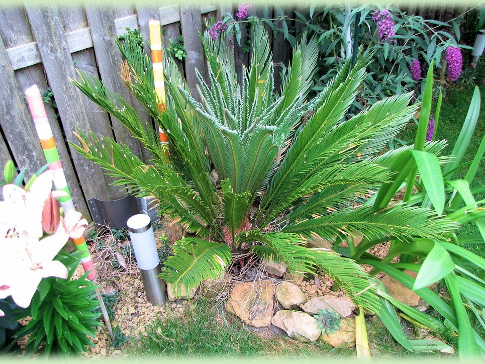Cycas revoluta met nieuwe flush