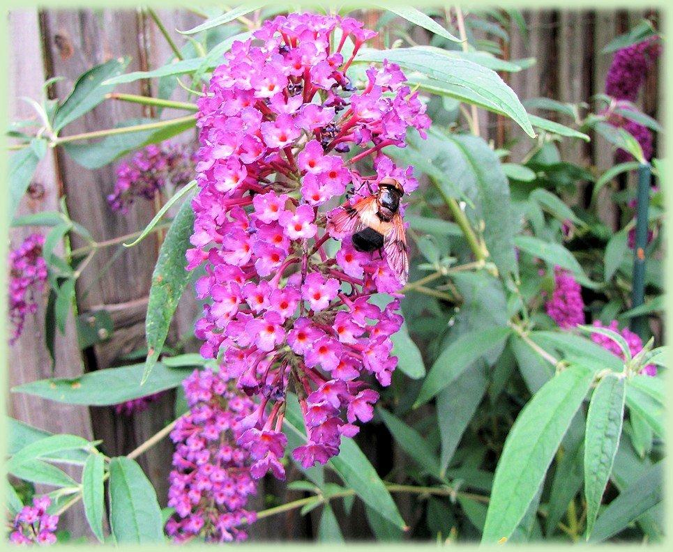 Buddleja davidii 'Nanho purple' - dwerg vlinderstruik