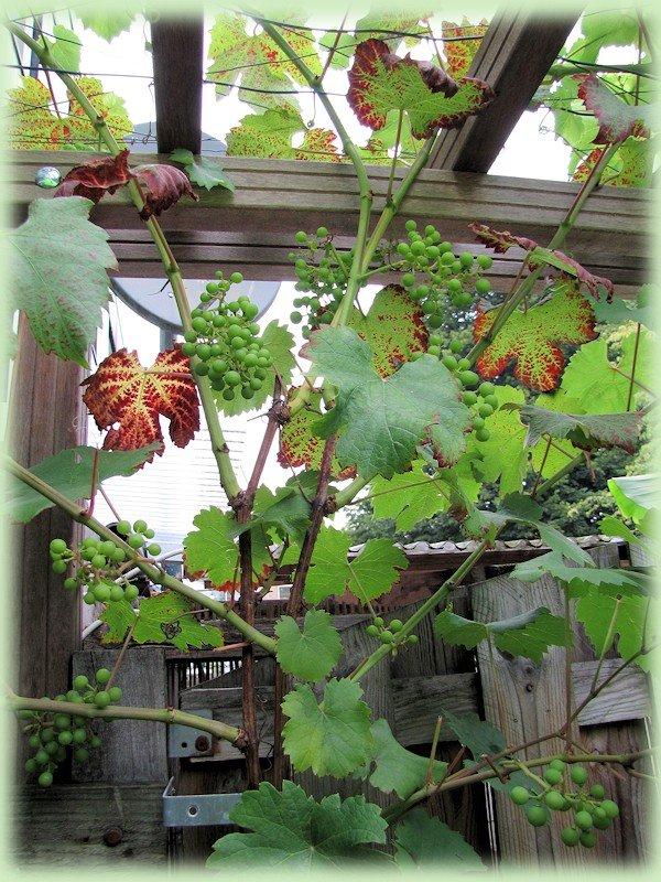 Vitis vinifera 'Regent'