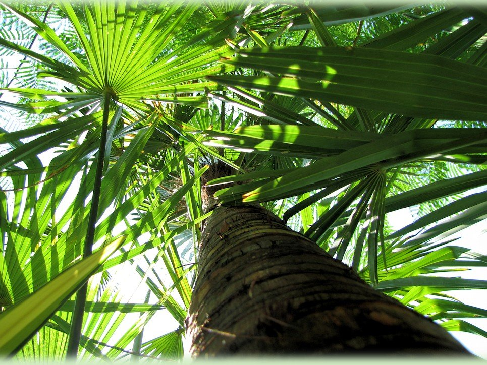 Trachycarpus fortunei 'Wagnerianus' met kale stam