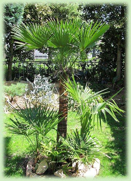 Trachycarpussen in mei