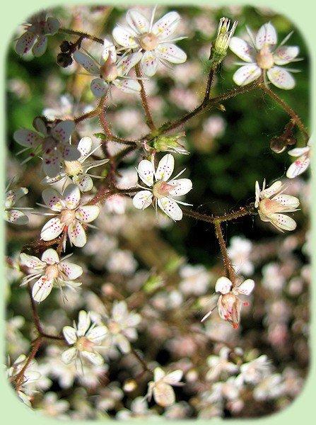 Witte bloempjes