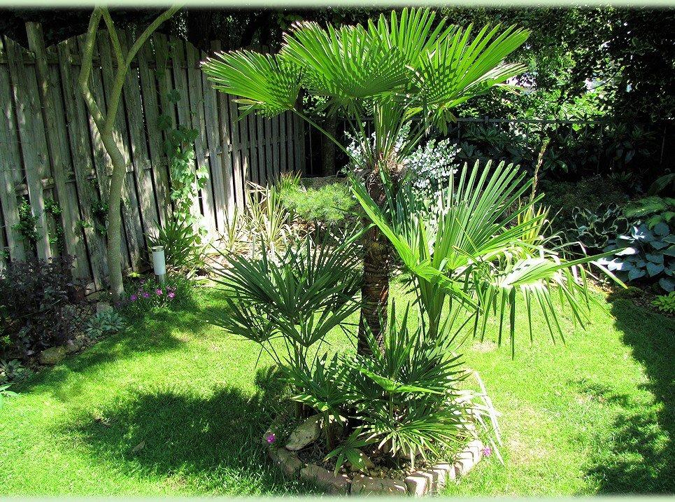 Groep Trachycarpussen