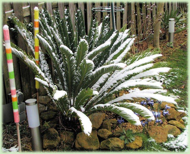 Cycas revoluta met sneeuw