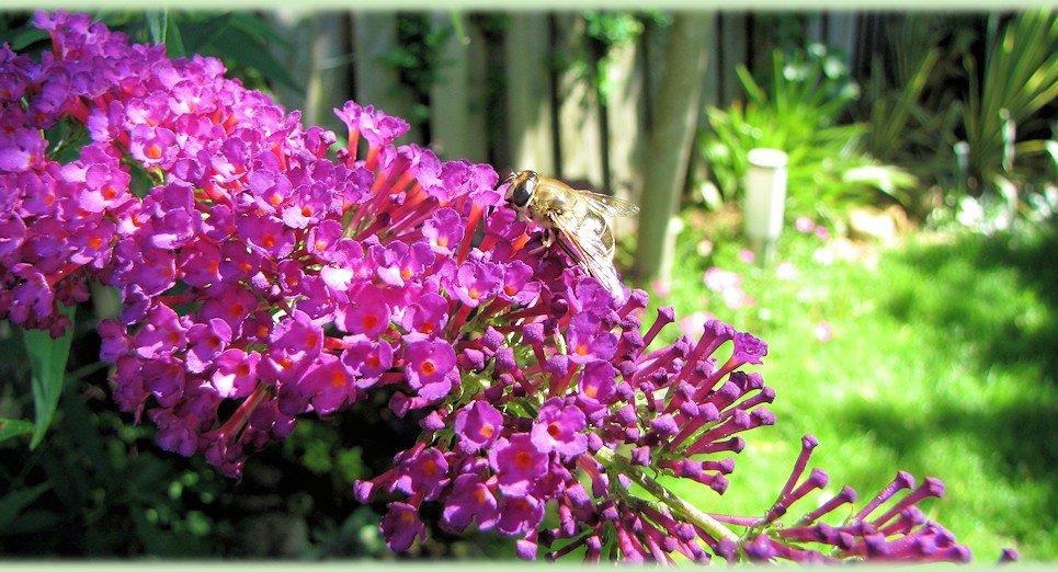 Bloemen van de dwerg vlinderstruik