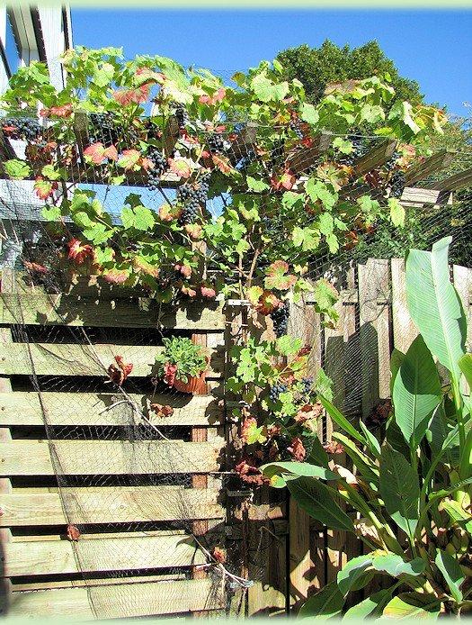 Druivenplant