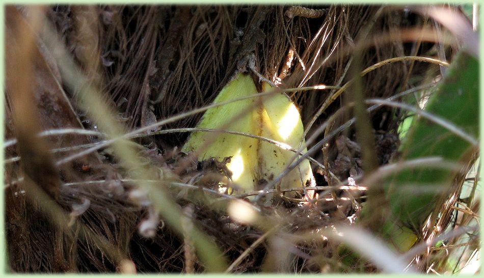 Bloei in Trachycarpus fortunei wagnerianus