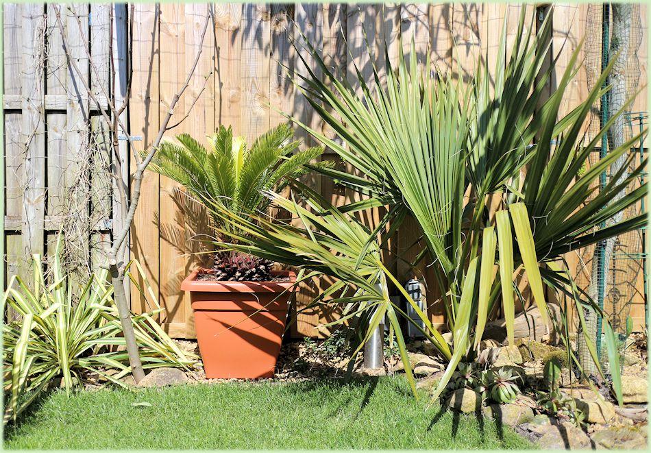 Sabal minor en Cycas revoluta in mei 2015
