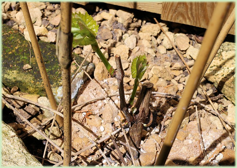 In mei 2015 is de Vitis vinifera Himrod weer goed uitgelopen