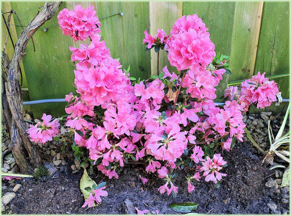 De nieuwe Azalea vol in bloei