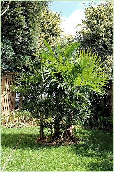 Centerpiece Trachycarpus
