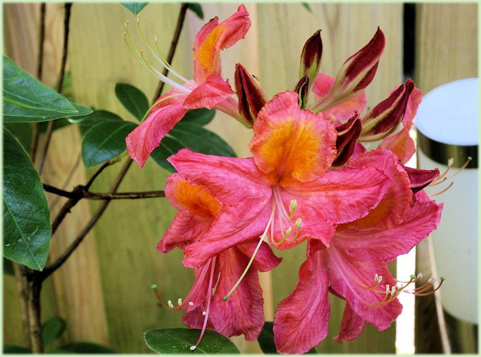 De Azalea bloem