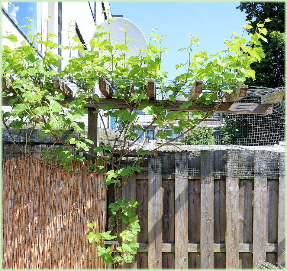 In juni is de druif vol in blad