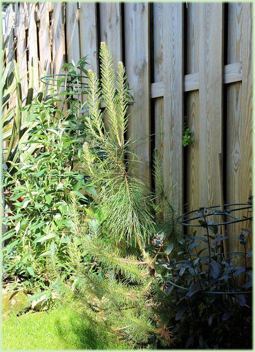 Uitgelopen Pinus pinea