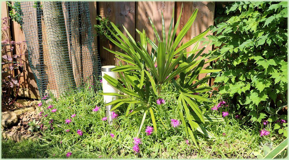 Rhapidophyllum hystrix met Deleosperma cooperi