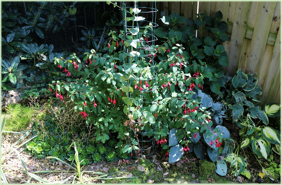 Winterharde Fuchsia