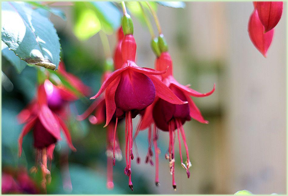 Bloemen Fuchsia