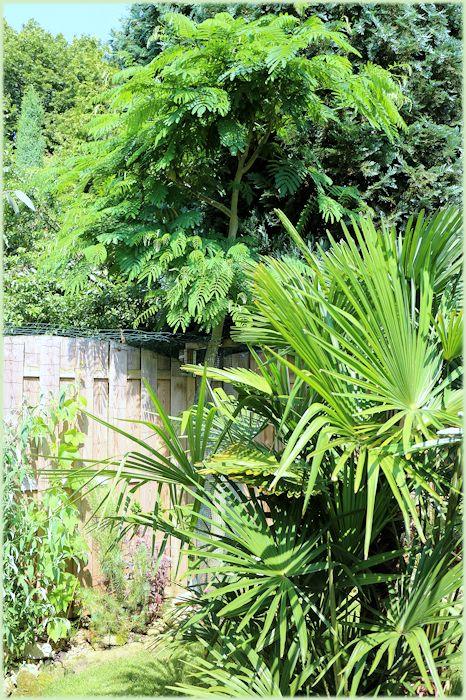 Trachycarpus met Albizia julibrissin rosea
