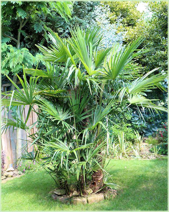 Groep Trachycarpus