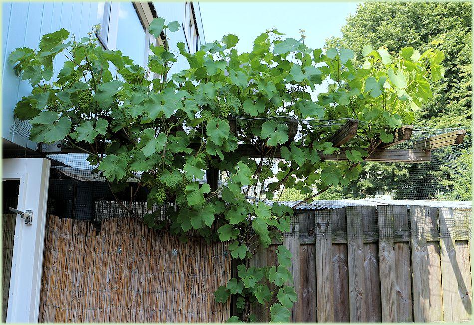 Vitis vinifera Regent met druifen