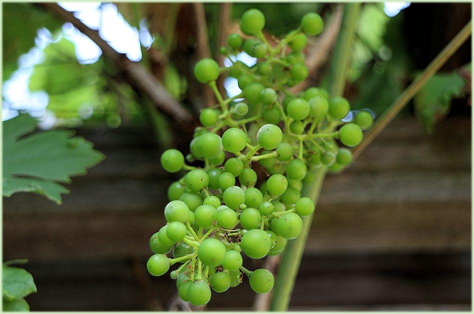 Onrijpe druiven