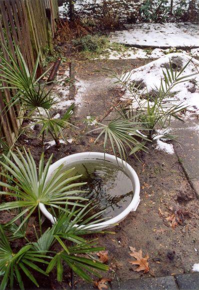 De eerste aanpassing van de tuin, een verwarmde vijver met de eerste palmen