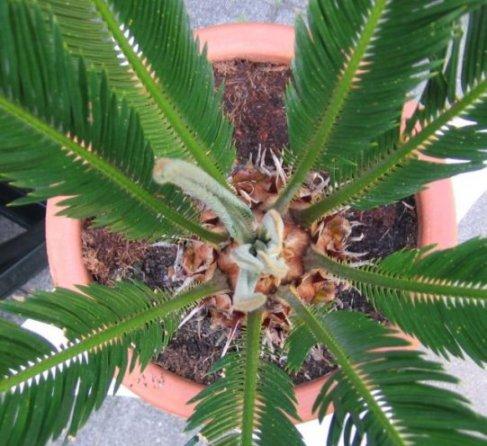 Cycas revoluta maakt buiten de nieuwe bladeren aan in de zomer