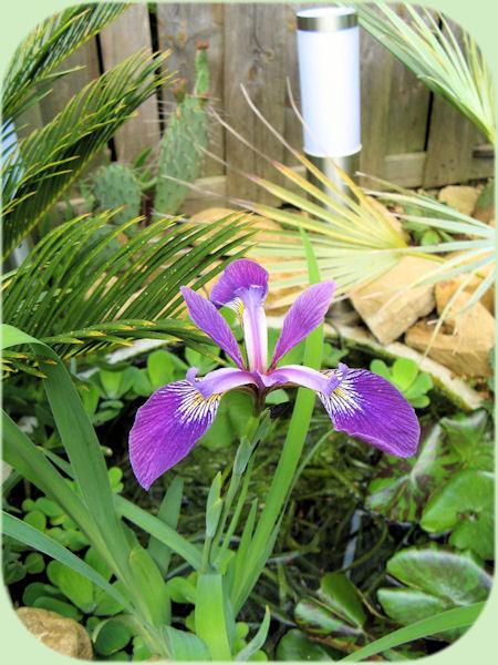 De prachtige bloem van Iris laevigata 'Mottled Beauty'.