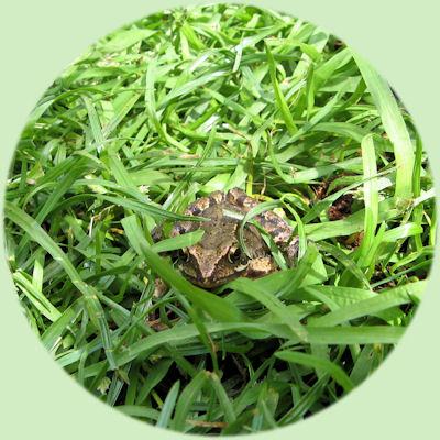 Bruine kikker in het gras