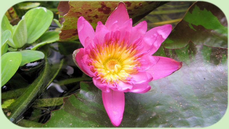 Een prachtige geopende bloem van de Nymphaea capensis.