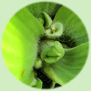 Een bloeiende mosselplant.